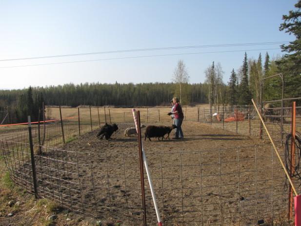 Herding test 008